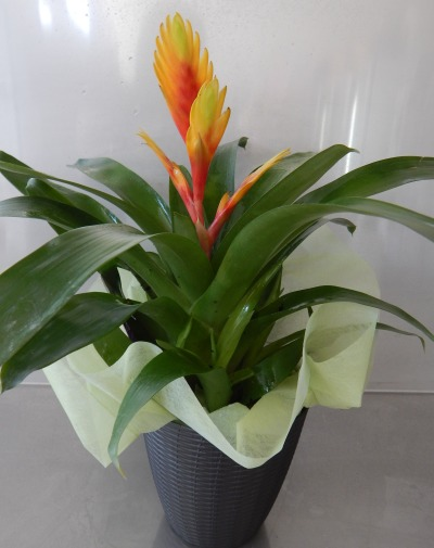 Bromeliad Indoor Potted Plant | Bunches Robina Gold Coast Florist